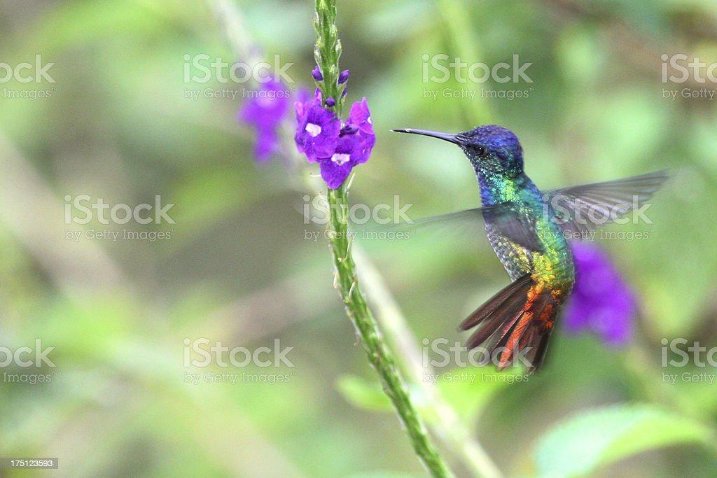 Wonderful Hummingbird in flight, Golden-tailed sapphire, Peru stock photo