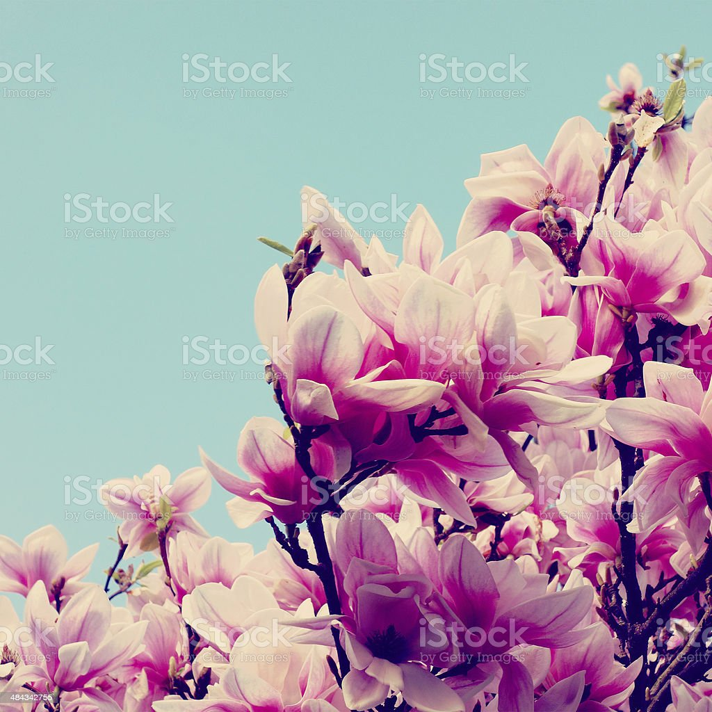 Wonderful magnolia in its full blossom stock photo
