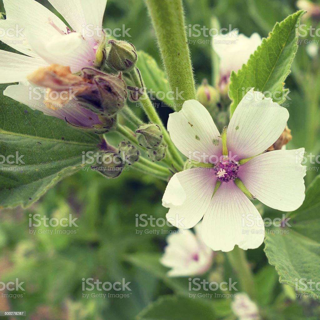 Wonderful shot of a blossoming mallow stock photo
