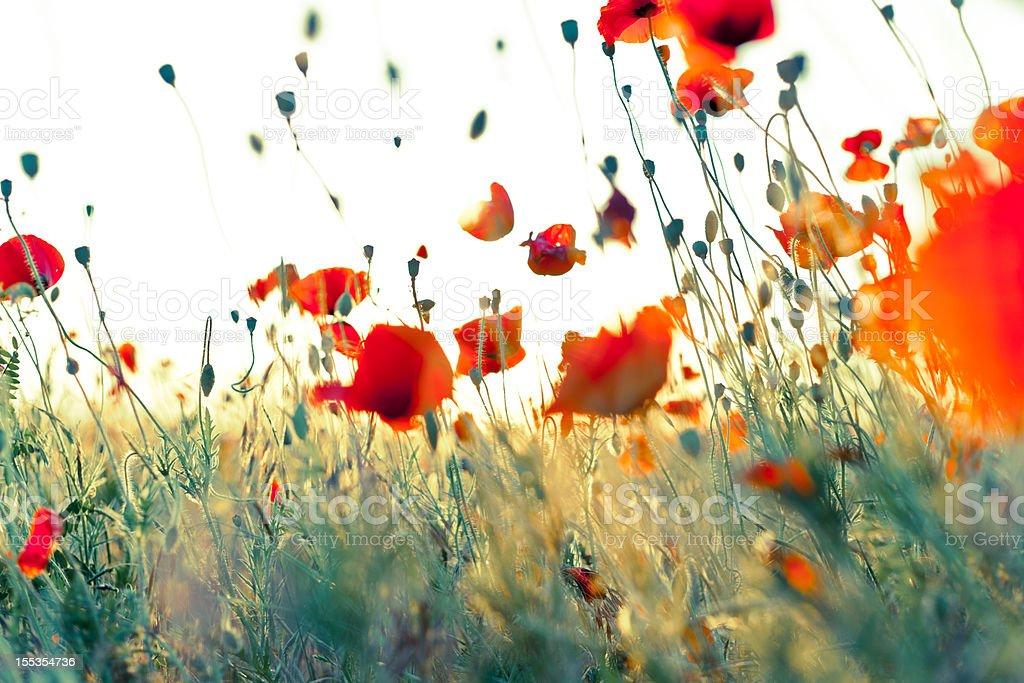 Wonderful weightless red corn poppies royalty-free stock photo