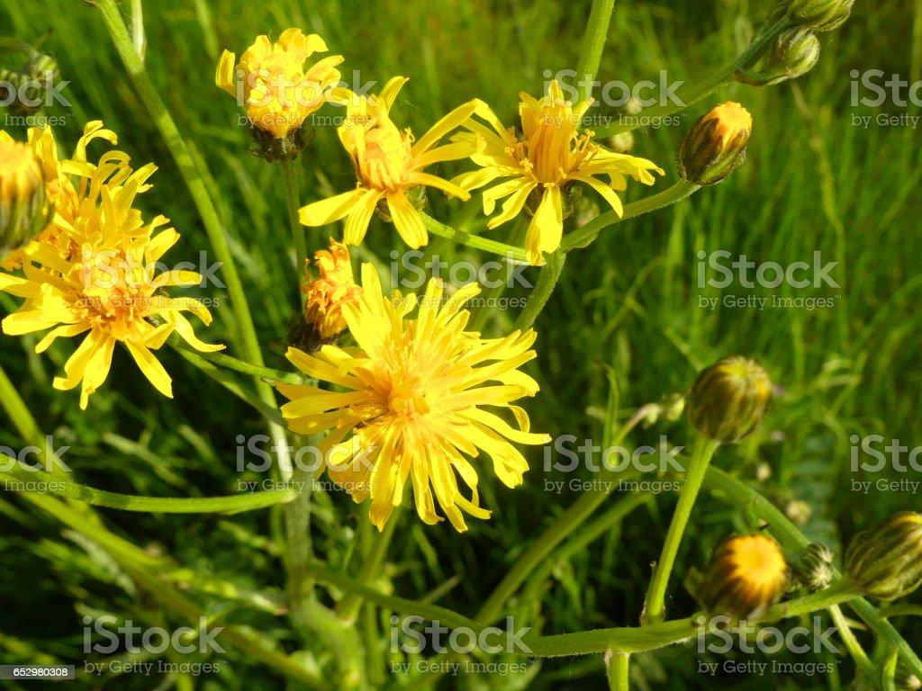 wonderful wild plant pippau stock photo