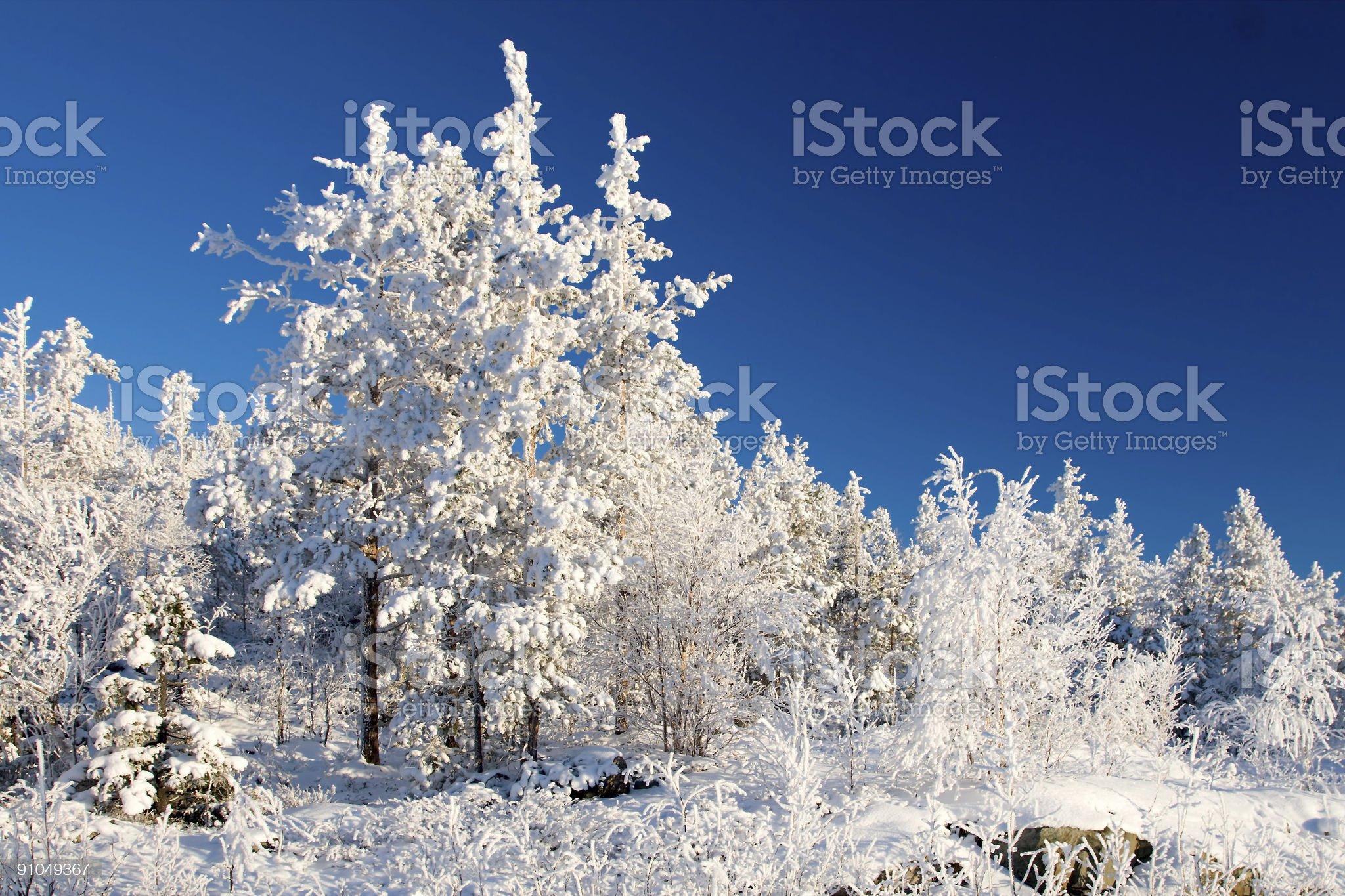 Wonderland quiet winter frozen forest royalty-free stock photo