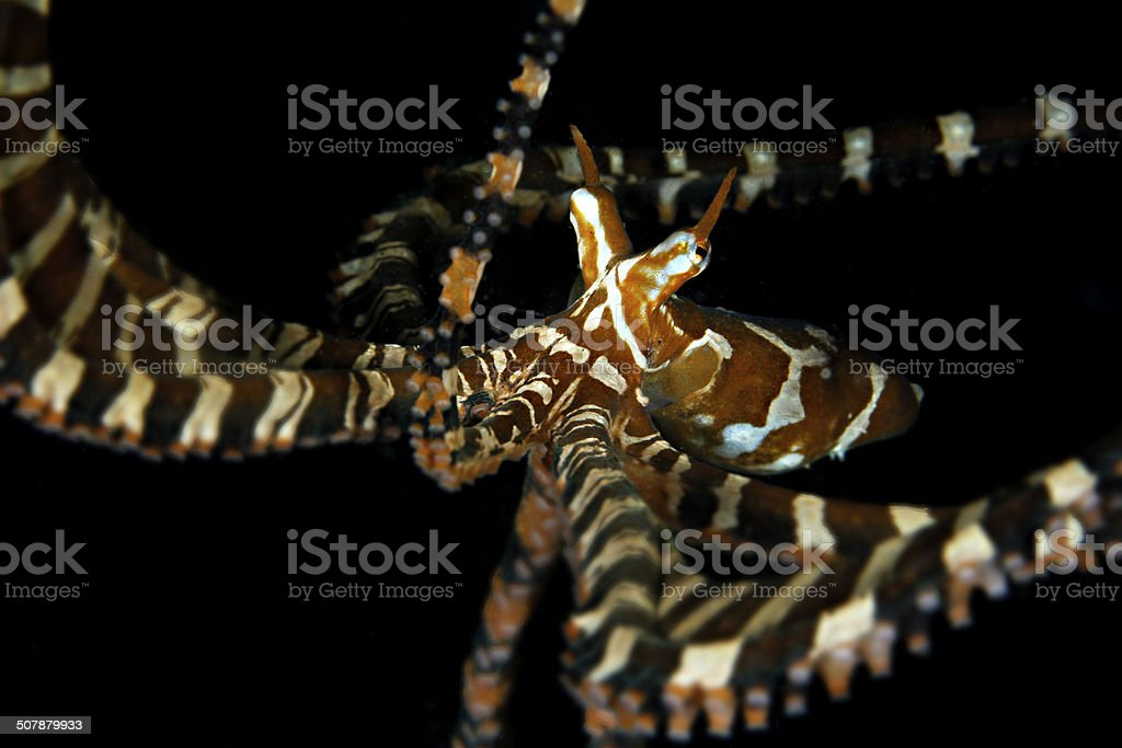 Wonderpus Octopus stock photo
