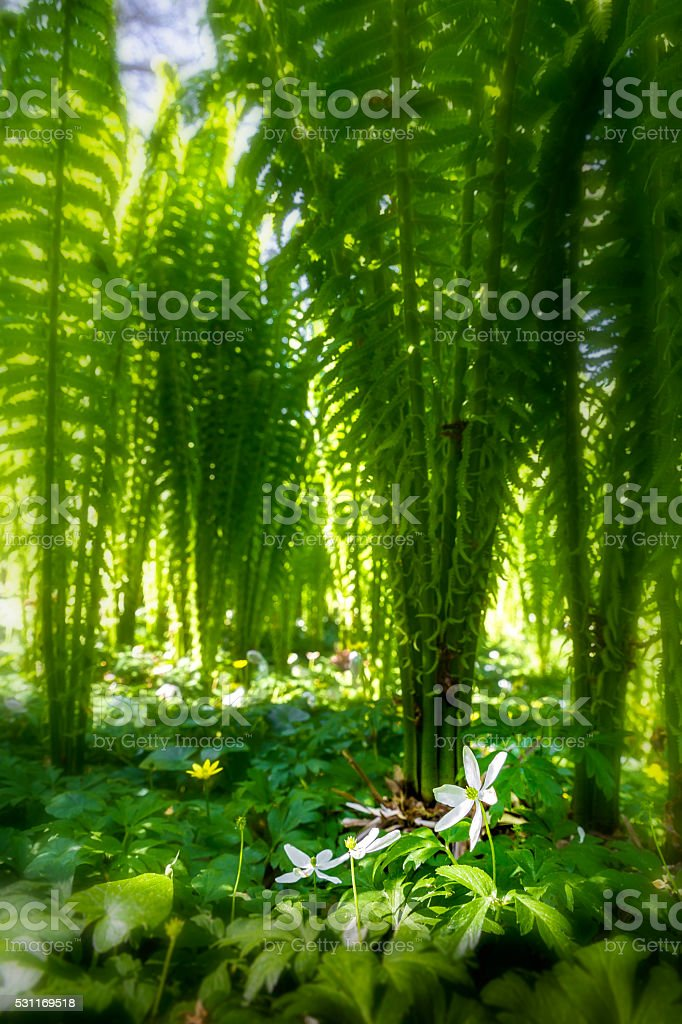wood anemone and lesser celandine under a forest of ferns stock photo