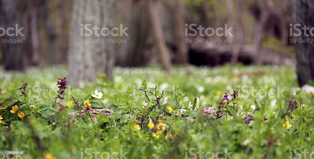 Wood anemone - forest floor in spring. stock photo