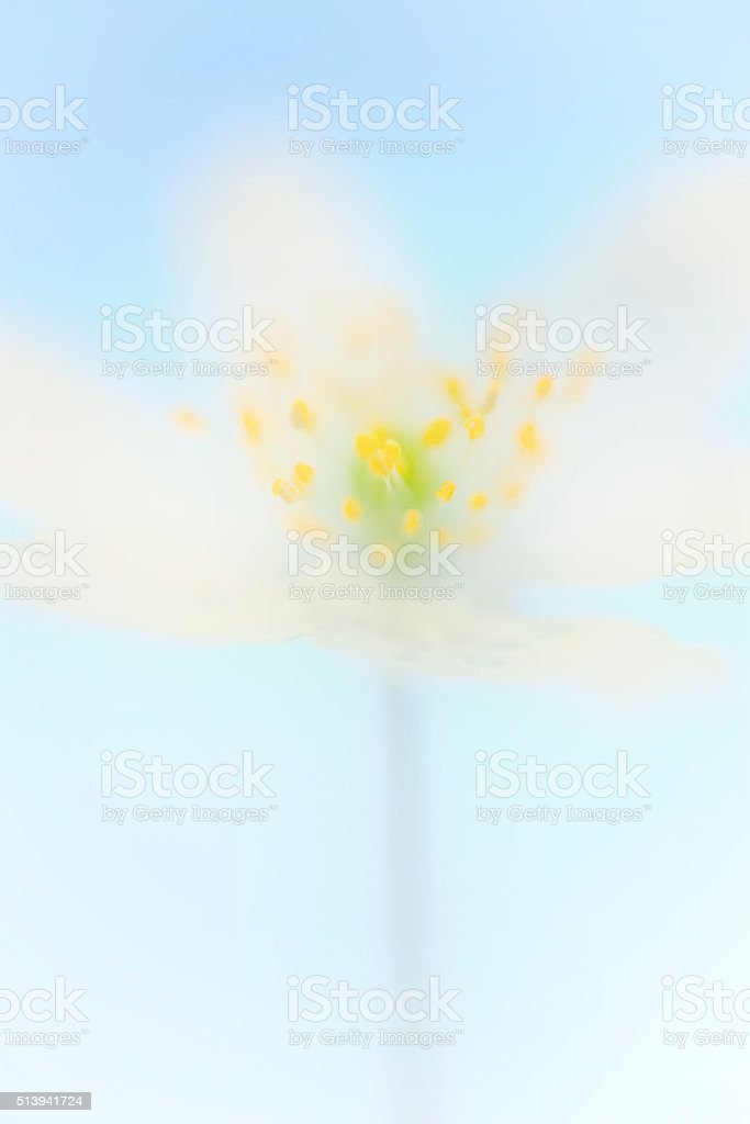 wood anemone in pastel color stock photo