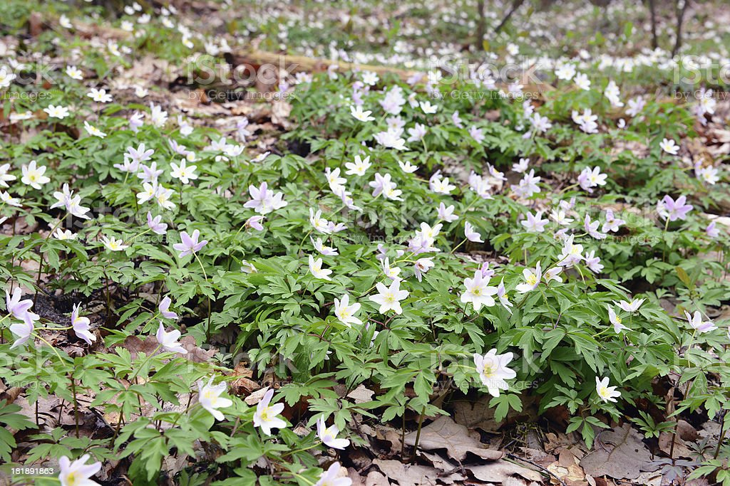 Wood Anemone (wind flower) stock photo