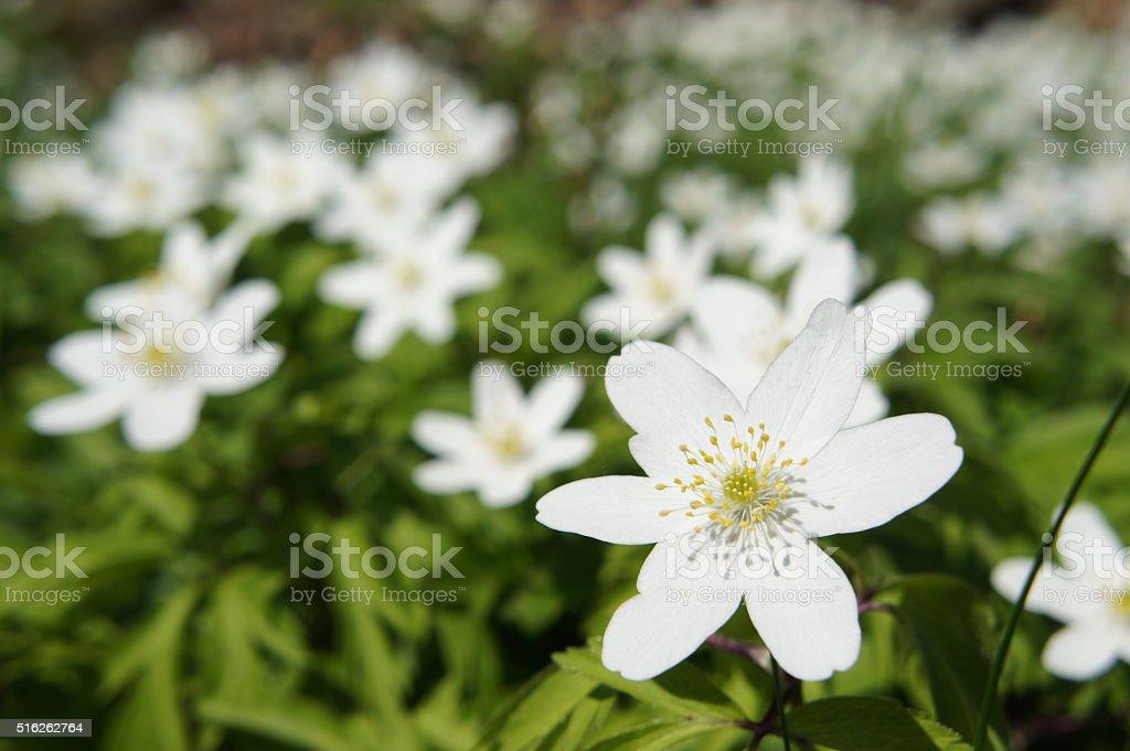 Wood anemone(s) stock photo