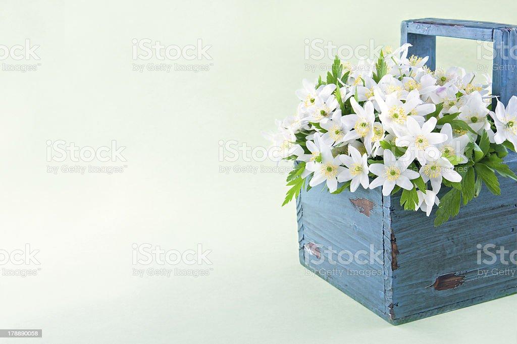 Wood anemone spring wild flowers royalty-free stock photo