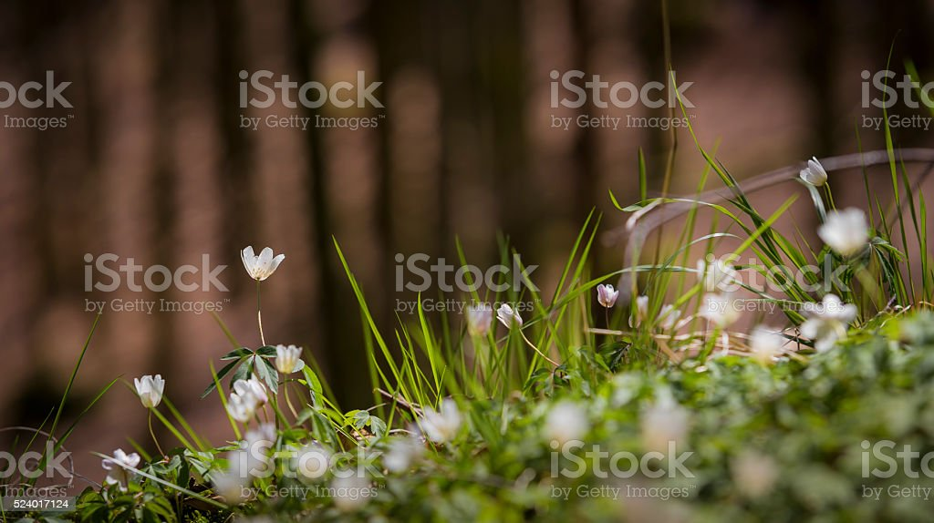Wood Anemones aginst bokeh forest background stock photo