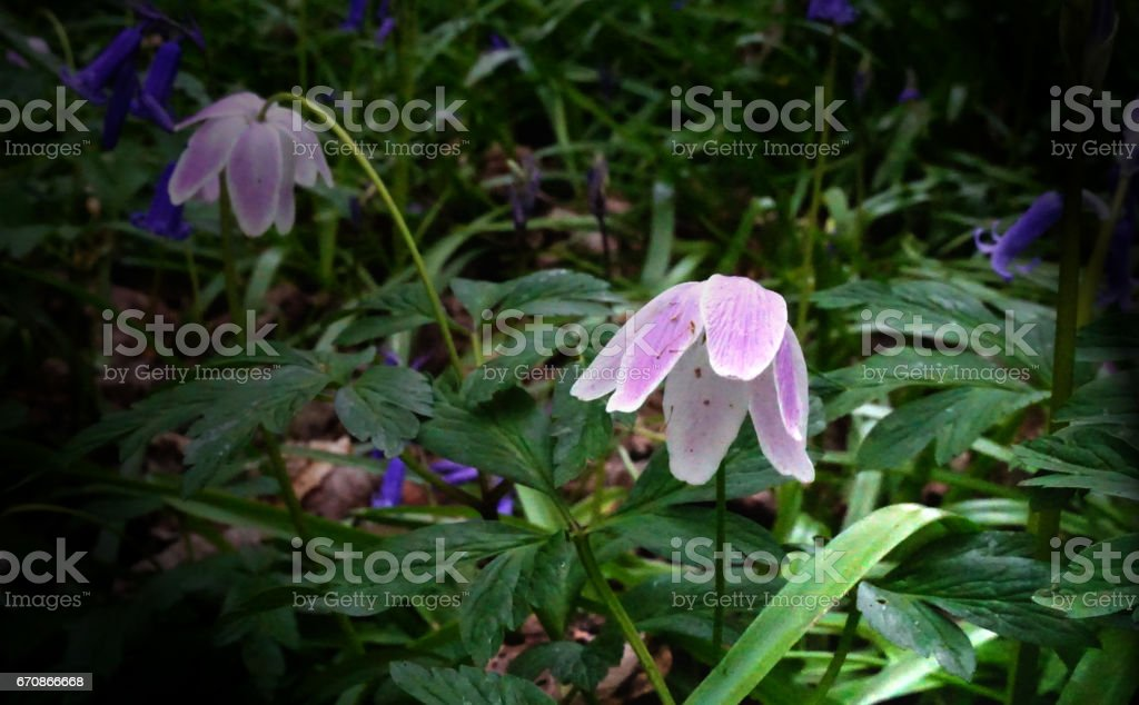 Wood Anemones and Bluebells stock photo