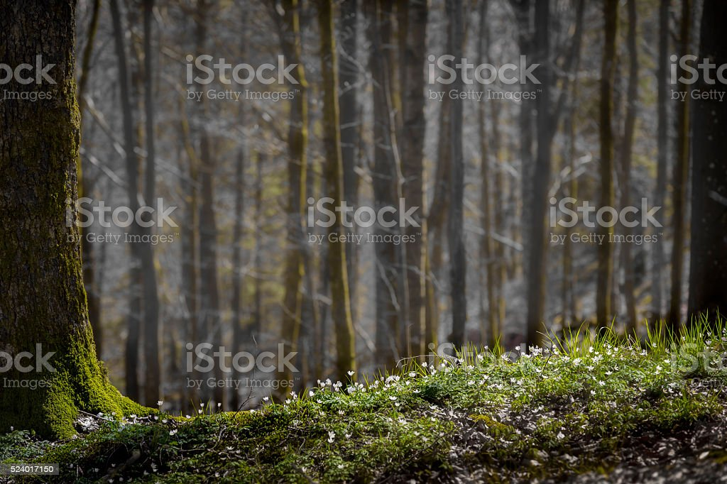 Wood Anemones besides a giant pine tree stock photo