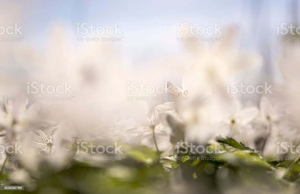 wood Anemones in the forest backlit stock photo