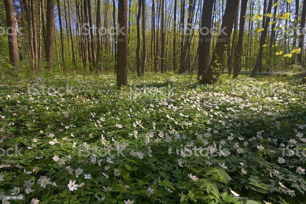 Wood anemones royalty-free stock photo