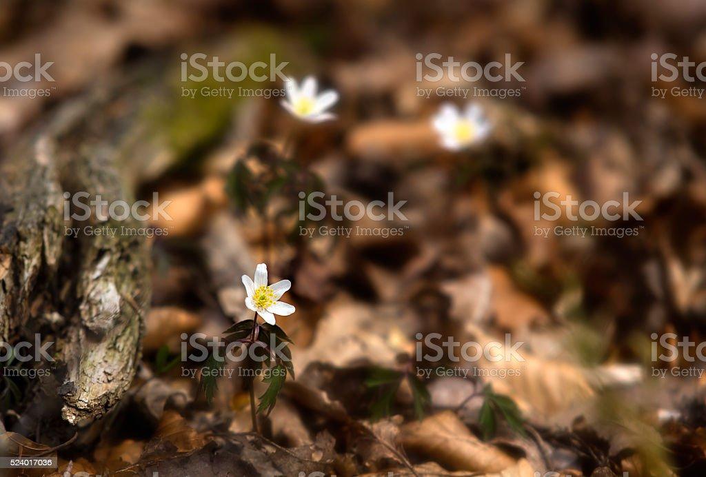 Wood Anemones stock photo