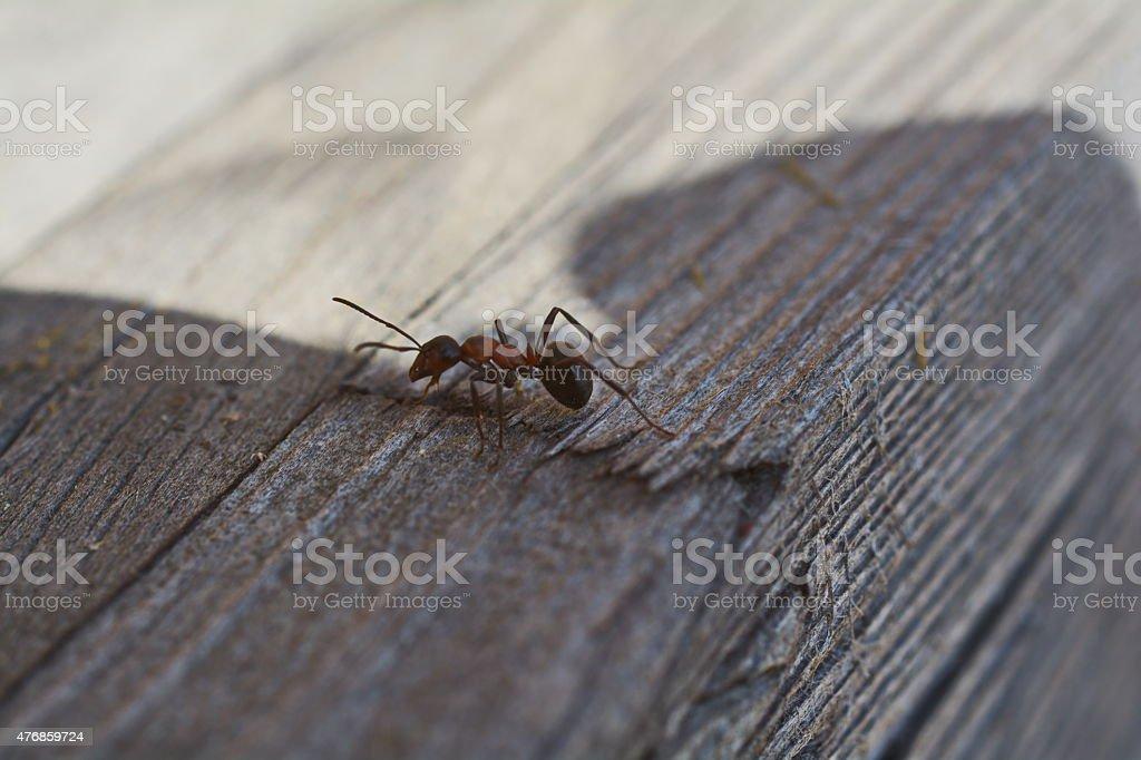 wood ant running stock photo