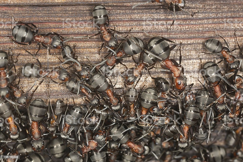 Wood ants (Formica rufa) infestation on old wooden house royalty-free stock photo