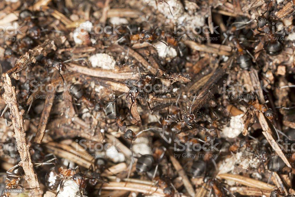 Wood ants (Formica rufa) macro photo royalty-free stock photo