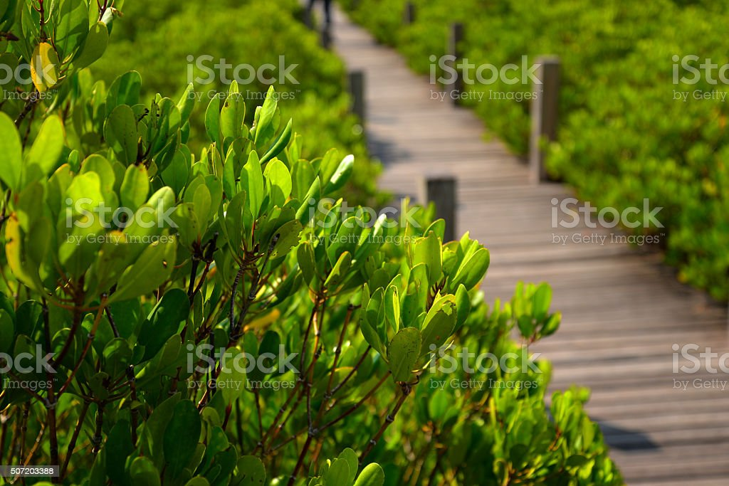 Wood bridge in mangrove forest, Thailand stock photo