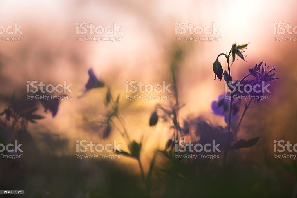 Wood cranebill, Geranium sylvaticum in sunset stock photo