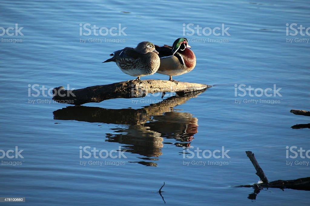 Wood duck couple stock photo