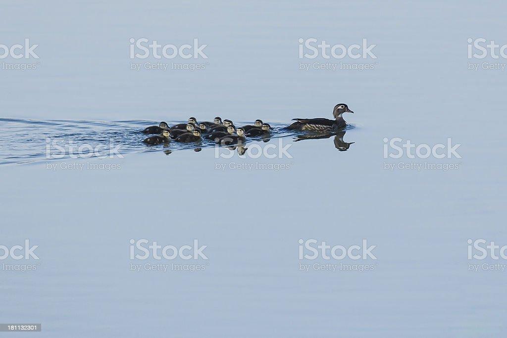 Wood Duck (Aix sponsa) Family royalty-free stock photo