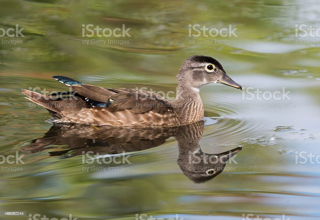 Wood Duck Female stock photo