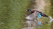 Wood Duck in flight, Aix Sponsa, male bird in spring