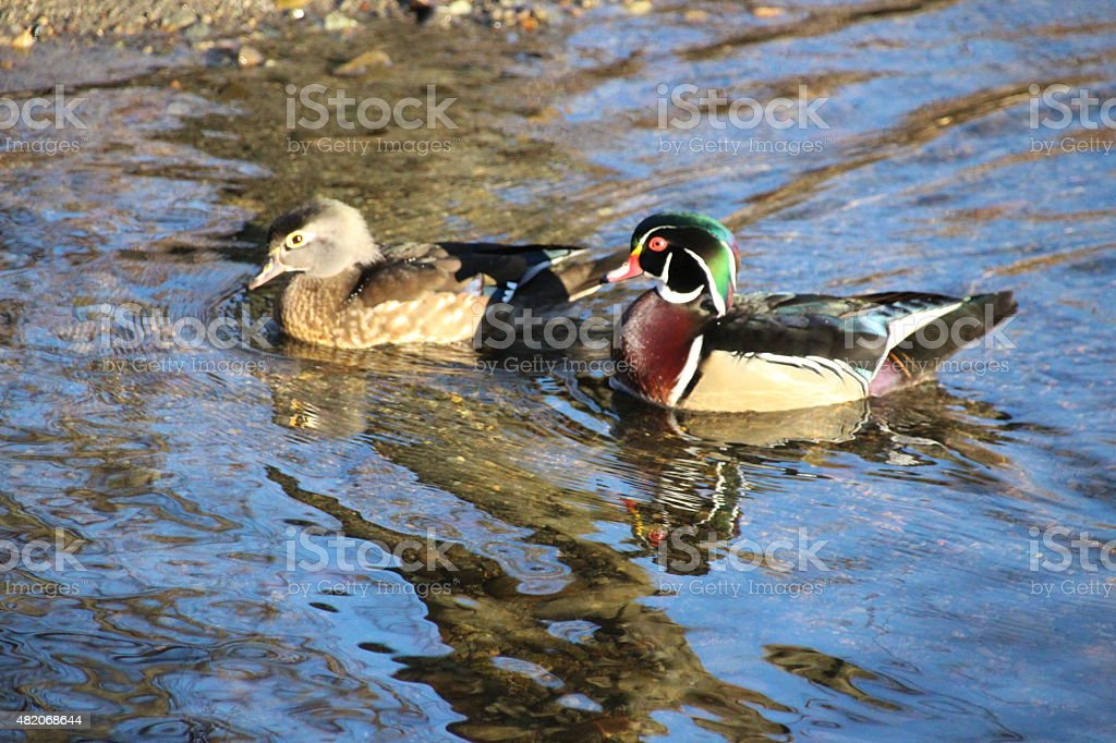 Wood duck on the water stock photo