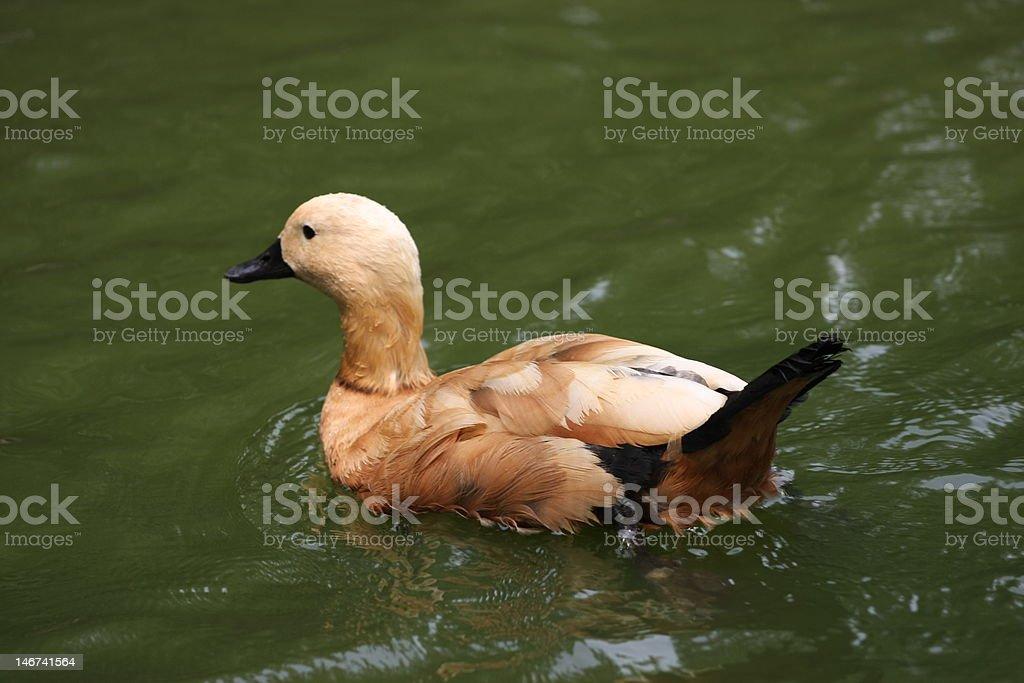 Canard branchu photo libre de droits