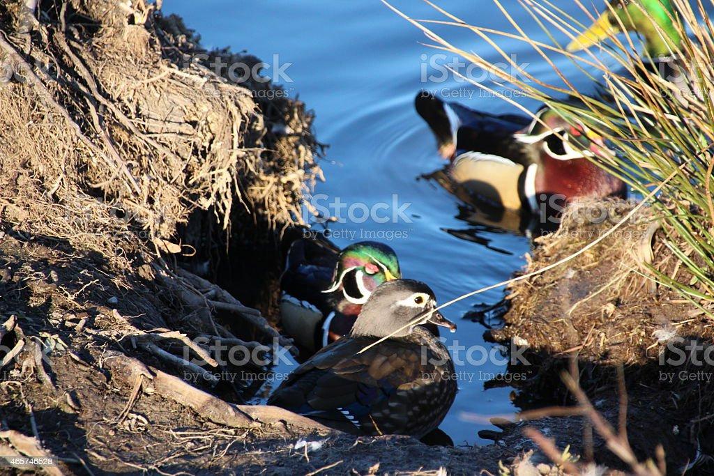 Wood Ducks on a sunny day stock photo