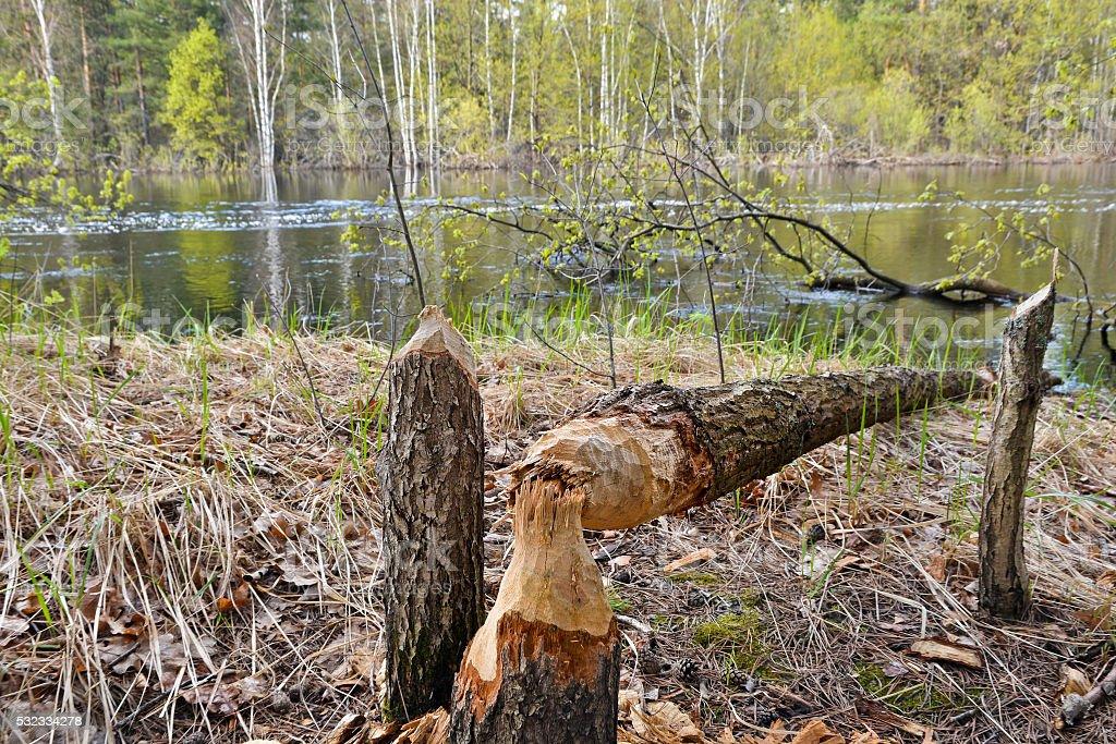 Wood, dumped the beavers. stock photo