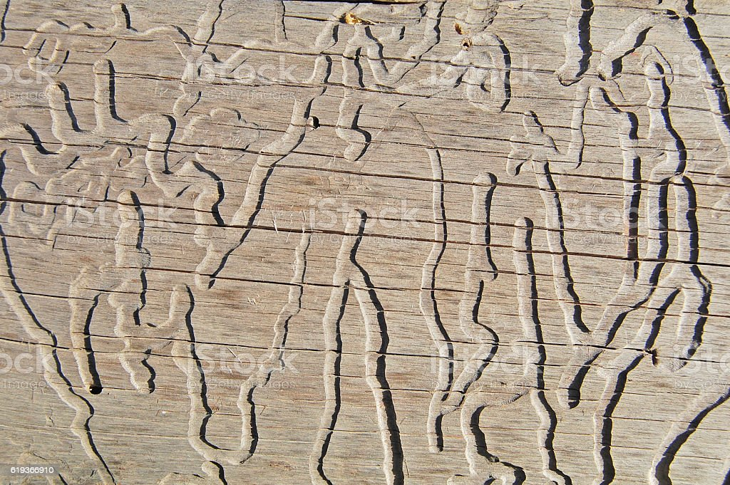 wood eaten by worms, wooden background and texture stock photo