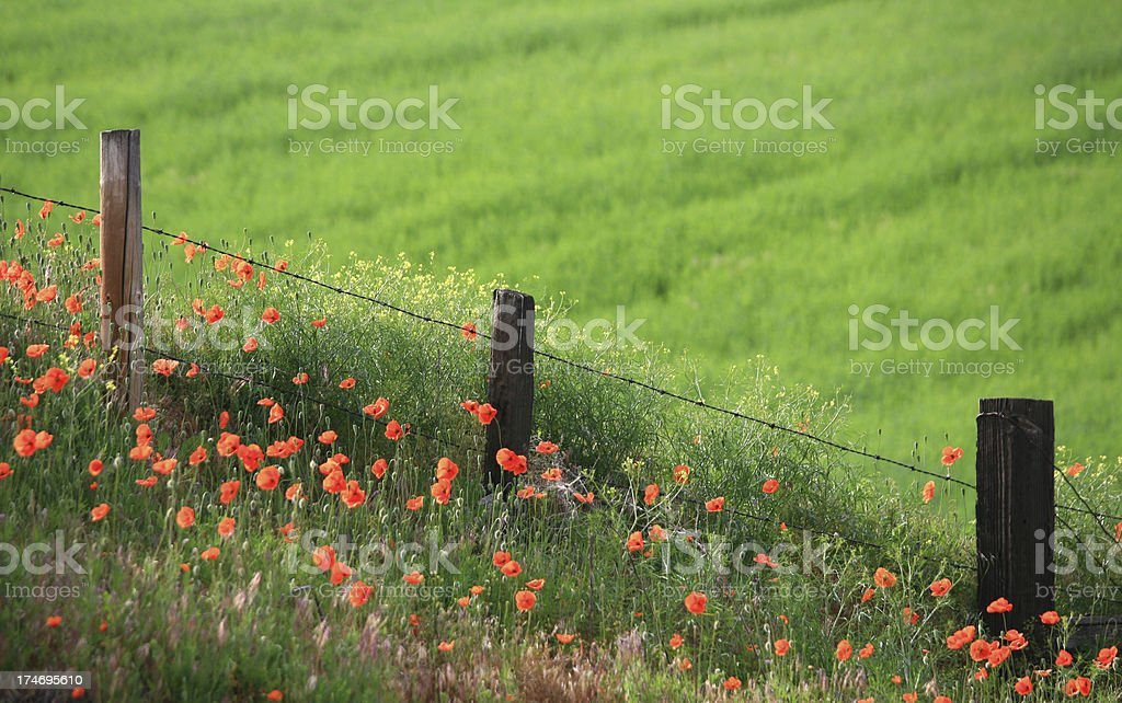 Wood Fence and Wild Poppies royalty-free stock photo