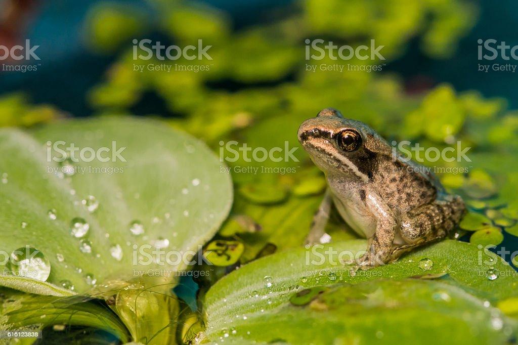 Wood Frog Metamorph stock photo