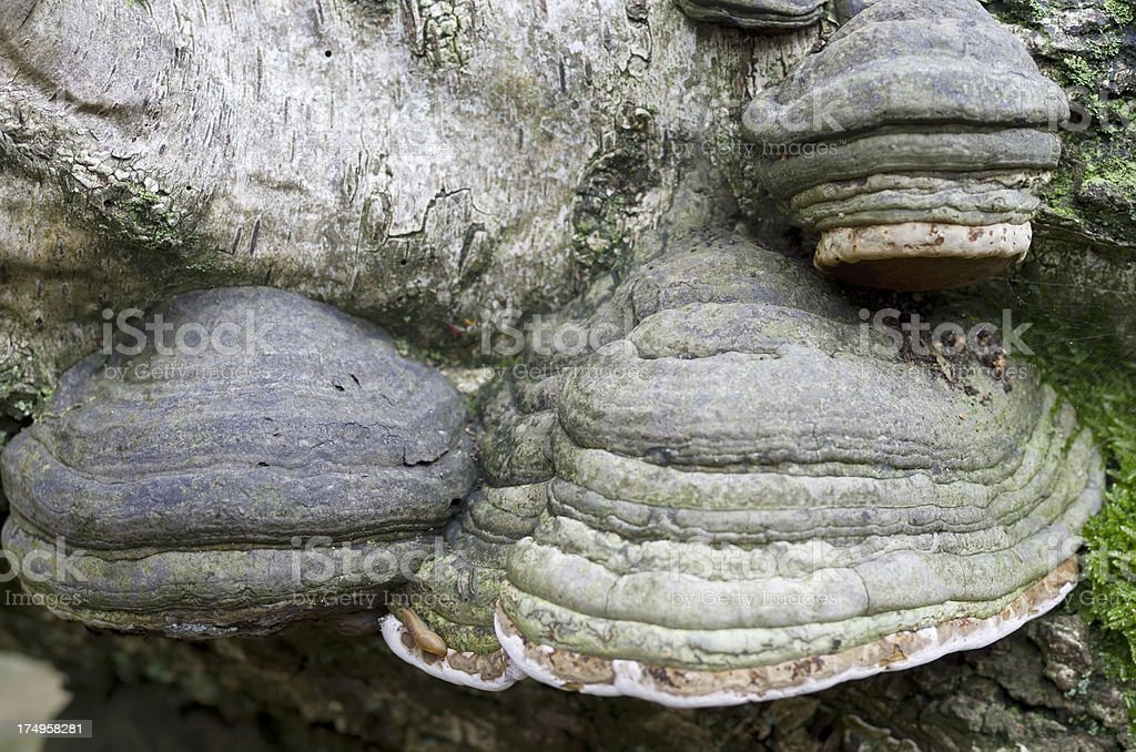 Wood Fungus (Fomes fomentarius) on dead Birch Trunk royalty-free stock photo