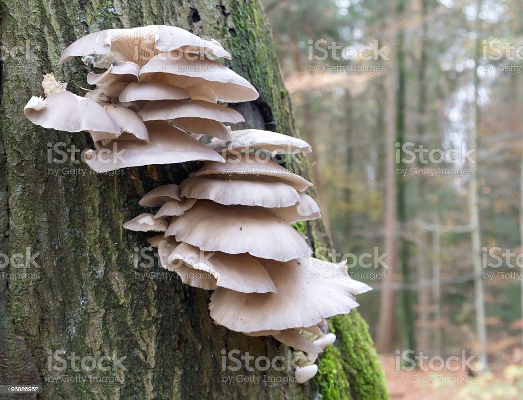 Wood Fungus, Oyster Mushroom (Pleurotus ostreatus) stock photo