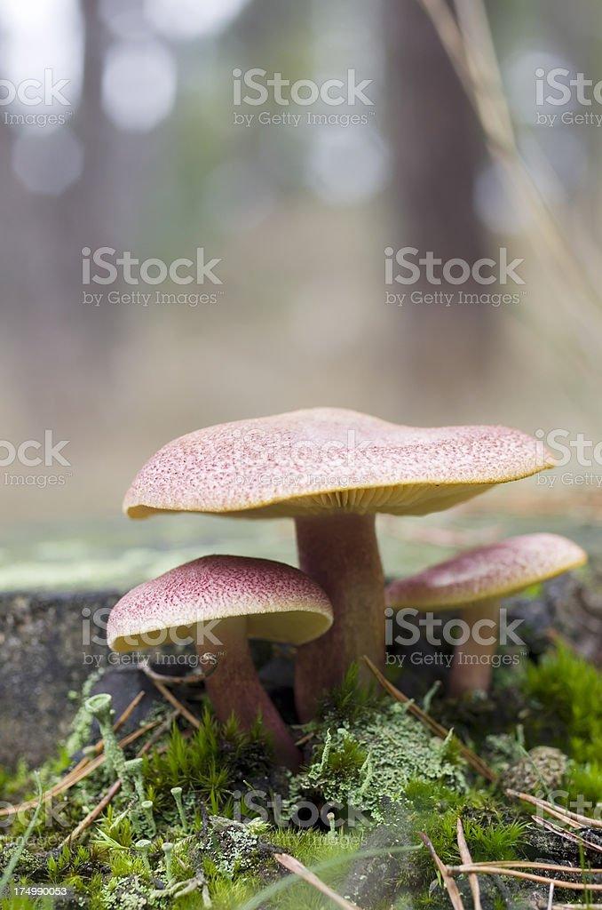 Wood Fungus (Tricholomopsis rutilans) stock photo