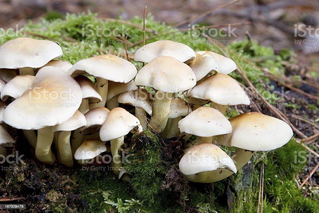 Wood Fungus (Hypholoma fasciculare) stock photo