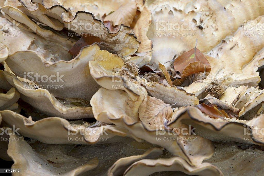 Wood Fungus (Meripilus giganteus) stock photo