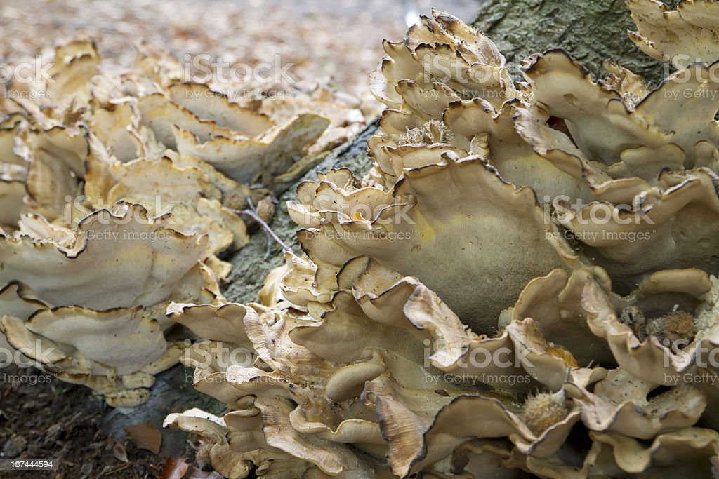 Wood Fungus (Meripilus giganteus) royalty-free stock photo