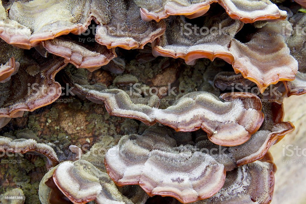 Wood Fungus (Auricularia mesenterica) stock photo