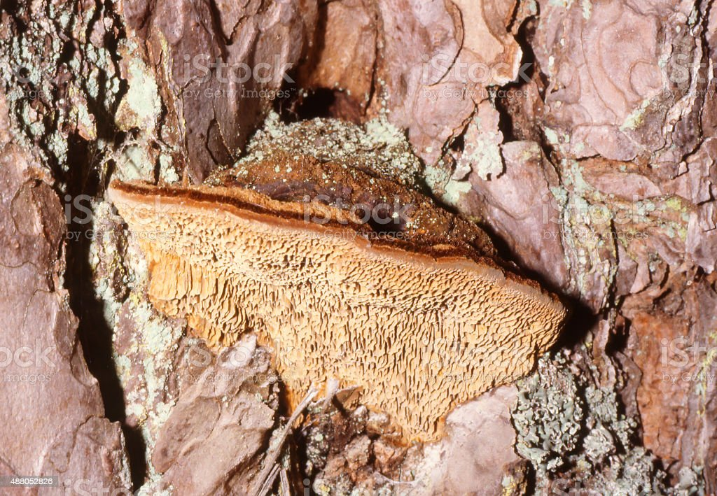 Wood Fungus (Phellinus pini) stock photo