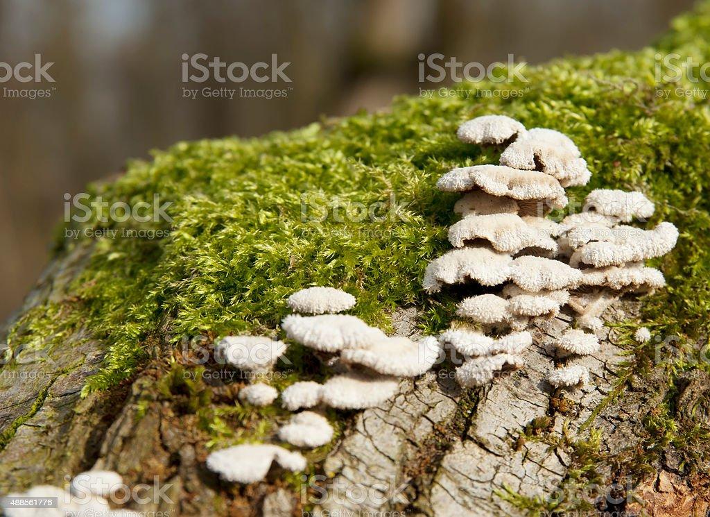 Wood Fungus (Schizopyllum commune) stock photo