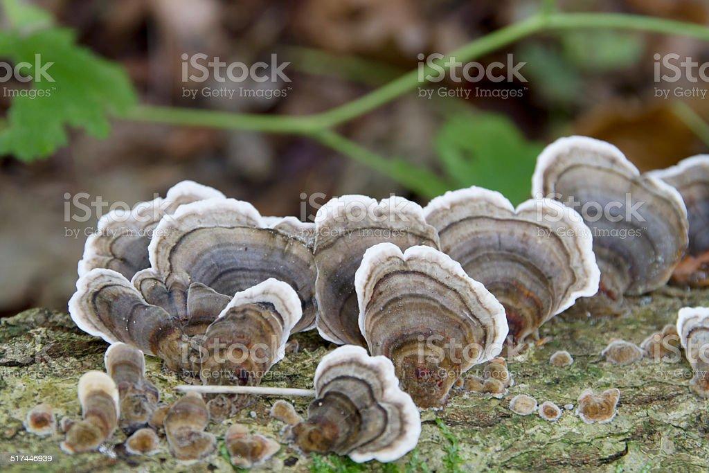 Wood Fungus (Coriolus versicolor) stock photo