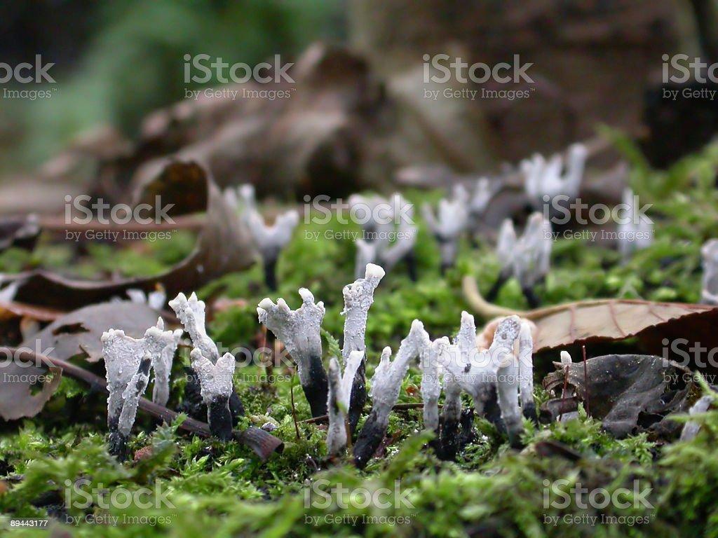 Wood Fungus (Xylaria hypoxylon) royalty-free stock photo
