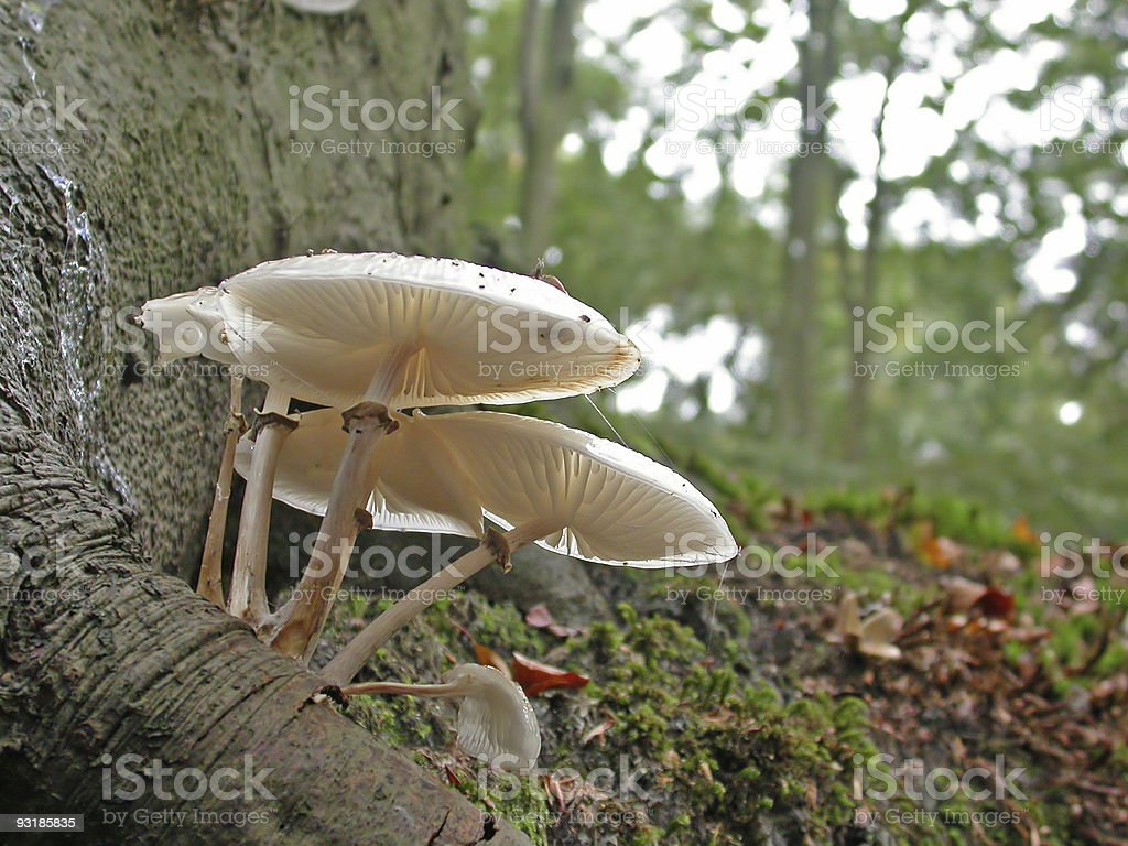 Wood Fungus (Oudemansiella mucida) stock photo