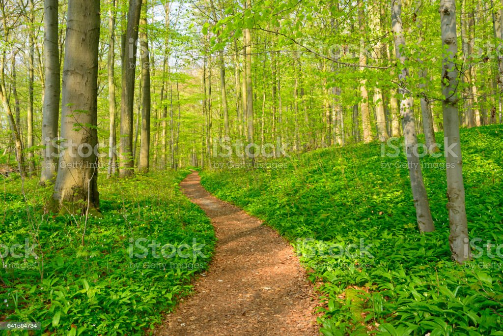 Wood Garlic Covering the Forest Floor in Natural Beech Tree Forest stock photo