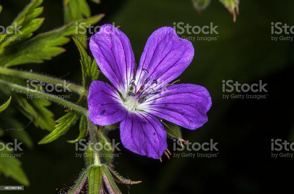 Wood geranium stock photo