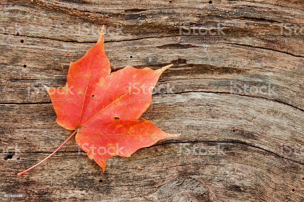 wood grain curves around maple leaf stock photo